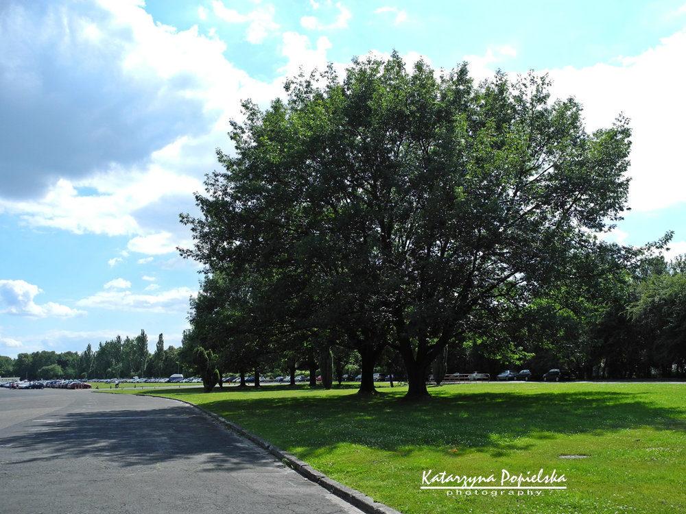 Drzewo na służewieckim parkingu